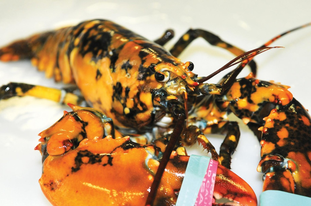 ODD_Calico_Lobster_ONe